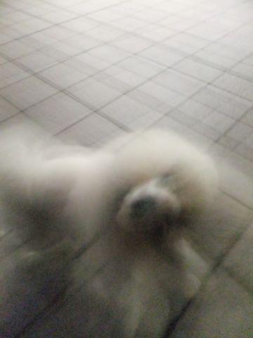 犬おあずかり犬ホテル東京ペットホテル文京区フントヒュッテビションフリーゼ赤ちゃん情報東京ビションフリーゼトリミング文京区hundehutteペットホテル犬おさんぽ6.jpg