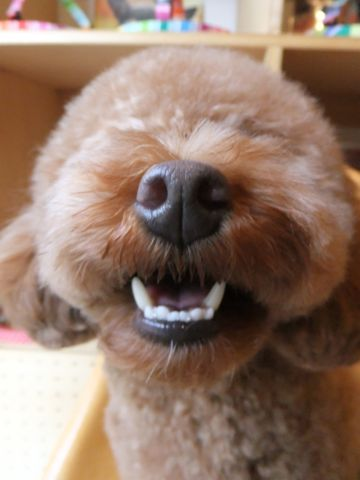 プードルトリミング文京区フントヒュッテトイプードルカット東京hundehutte犬ハーブパックトリミングナノオゾンペットシャワーデンタルケア犬歯磨き5.jpg