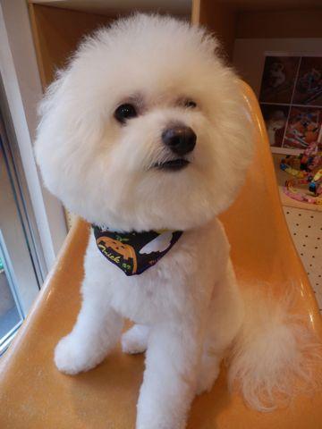 ビションフリーゼトリミング文京区フントヒュッテ東京ナノオゾンペットシャワー使用店ハーブパック犬デンタルケア犬歯磨きhundehutteビションカットビション子犬2.jpg