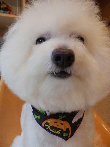 ビションフリーゼトリミング文京区フントヒュッテ東京ナノオゾンペットシャワー使用店ハーブパック犬デンタルケア犬歯磨きhundehutteビションカットビション子犬5.jpg
