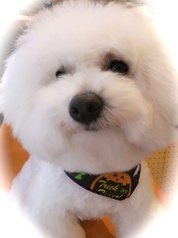 ビションフリーゼトリミング文京区フントヒュッテ東京ナノオゾンペットシャワー使用店ハーブパック犬デンタルケア犬歯磨きhundehutteビションカットビション子犬6.jpg
