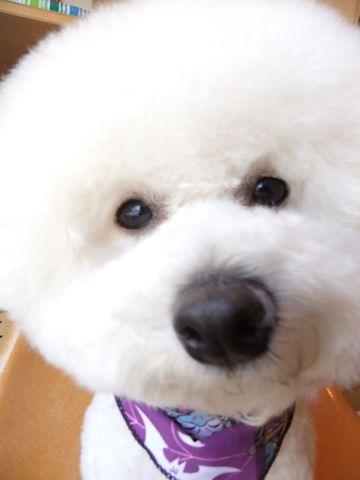 ビションフリーゼトリミング文京区フントヒュッテ東京ナノオゾンペットシャワー使用店ハーブパック犬デンタルケア犬歯磨きhundehutteビションカットビション子犬9.jpg