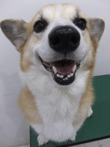 コーギートリミング文京区フントヒュッテ東京ナノオゾンペットシャワー使用店ハーブパック犬歯磨き犬デンタルケアhundehutteコーギーシャンプー部分カット1.jpg