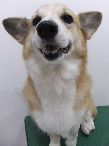 コーギートリミング文京区フントヒュッテ東京ナノオゾンペットシャワー使用店ハーブパック犬歯磨き犬デンタルケアhundehutteコーギーシャンプー部分カット2.jpg
