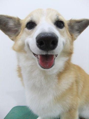 コーギートリミング文京区フントヒュッテ東京ナノオゾンペットシャワー使用店ハーブパック犬歯磨き犬デンタルケアhundehutteコーギーシャンプー部分カット7.jpg