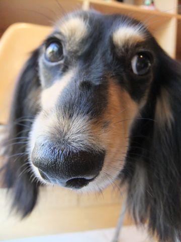 ダックスフンドトリミング文京区フントヒュッテ東京ナノオゾンペットシャワー使用店ハーブパック犬歯磨き犬デンタルケアhundehutteダックスシャンプー部分カット1.jpg