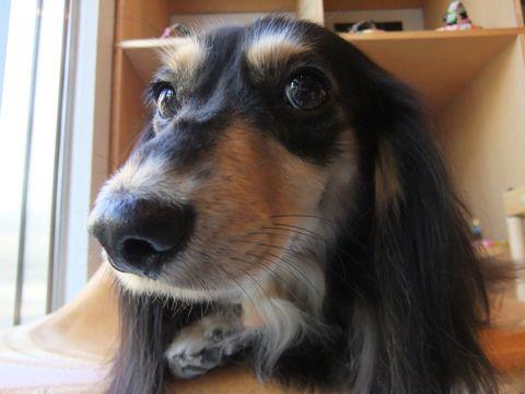 ダックスフンドトリミング文京区フントヒュッテ東京ナノオゾンペットシャワー使用店ハーブパック犬歯磨き犬デンタルケアhundehutteダックスシャンプー部分カット2.jpg