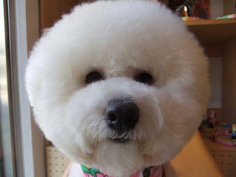 ビションフリーゼトリミング文京区フントヒュッテ東京ナノオゾンペットシャワー使用店ハーブパック犬デンタルケア犬歯磨きhundehutteビションカットビション子犬1.jpg