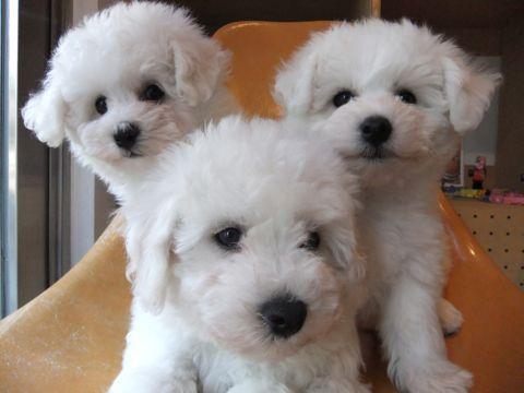 ビションフリーゼフントヒュッテ東京ビションフリーゼこいぬ情報子犬情報ビション赤ちゃんhundehutteビションフリーゼおとこのこビションフリーゼおんなのこ2.jpg