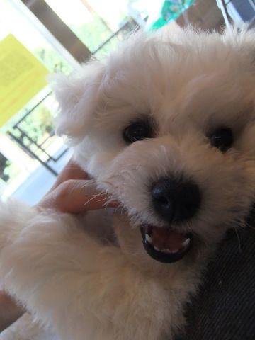 ビションフリーゼフントヒュッテ東京ビションフリーゼこいぬ情報子犬情報ビション赤ちゃんhundehutteビションフリーゼおとこのこビションフリーゼおんなのこ3.jpg