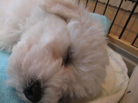 ビションフリーゼフントヒュッテ東京ビションフリーゼこいぬ情報子犬情報ビション赤ちゃんhundehutteビションフリーゼおとこのこビションフリーゼおんなのこ8.jpg