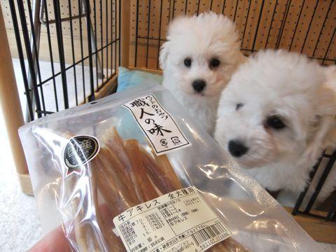 ビションフリーゼフントヒュッテ東京ビションフリーゼこいぬ情報子犬情報ビション赤ちゃんhundehutteビションフリーゼおとこビションおんなのこ職人の味牛アキレス1.jpg