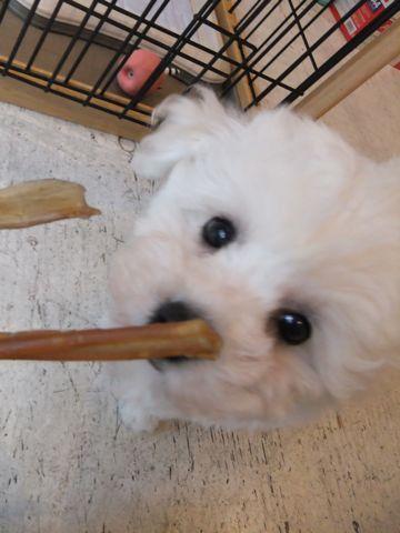 ビションフリーゼフントヒュッテ東京ビションフリーゼこいぬ情報子犬情報ビション赤ちゃんhundehutteビションフリーゼおとこビションおんなのこ職人の味牛アキレス2.jpg