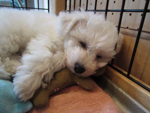 ビションフリーゼフントヒュッテ東京ビションフリーゼこいぬ情報子犬情報ビション赤ちゃんhundehutteビションフリーゼおとこのこビションフリーゼおんなのこ11.jpg