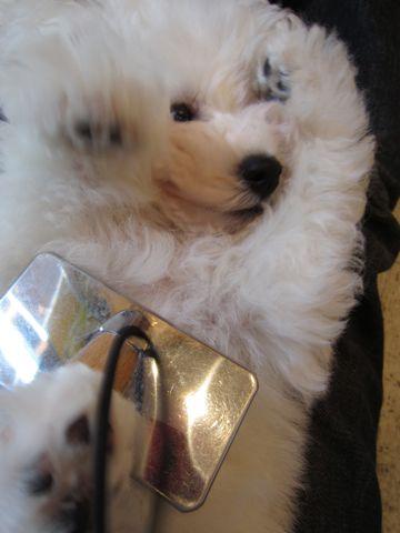 ビションフリーゼフントヒュッテ東京ビションフリーゼこいぬ情報子犬情報ビション赤ちゃんhundehutteビションフリーゼこいぬブラッシング犬わんこ日頃のお手入れ3.jpg