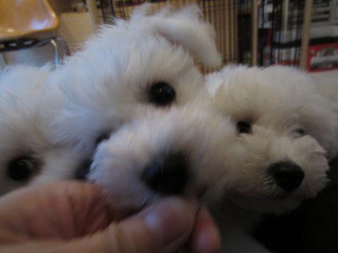 ビションフリーゼフントヒュッテ東京ビションフリーゼこいぬ情報子犬情報ビション赤ちゃんhundehutteビションフリーゼこいぬブラッシング犬わんこ日頃のお手入れ11.jpg