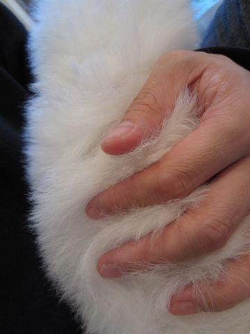 ビションフリーゼフントヒュッテ東京ビションフリーゼこいぬ情報子犬情報ビション赤ちゃんhundehutteビションフリーゼおとこのこビションフリーゼおんなのこ14.jpg