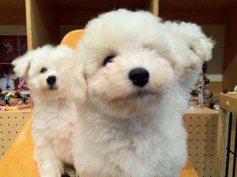 ビションフリーゼフントヒュッテ東京ビションフリーゼこいぬ情報子犬情報ビション赤ちゃんhundehutteビションフリーゼおとこのこビションフリーゼおんなのこ19.jpg