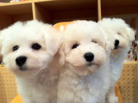 ビションフリーゼフントヒュッテ東京ビションフリーゼこいぬ情報子犬情報ビション赤ちゃんhundehutteビションフリーゼおとこのこビションフリーゼおんなのこ20.jpg