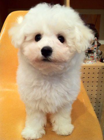 ビションフリーゼフントヒュッテ東京ビションフリーゼこいぬ情報子犬情報ビション赤ちゃんhundehutteビションフリーゼおとこのこビションフリーゼおんなのこ23.jpg