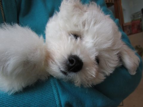 ビションフリーゼフントヒュッテ東京ビションフリーゼこいぬ情報子犬情報ビション赤ちゃんhundehutteビションフリーゼおとこのこビションフリーゼおんなのこ26.jpg