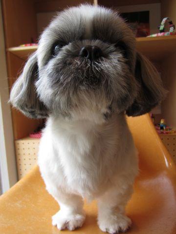 シーズートリミング文京区フントヒュッテナノオゾンペットシャワー使用店東京hundehutteシーズーシャンプーシーズーカット老犬トリミング老犬シャンプー2.jpg