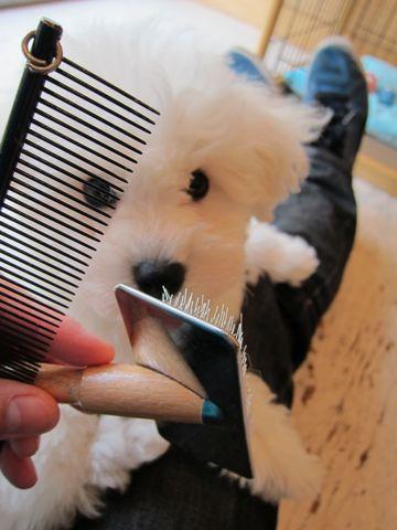 ビションフリーゼフントヒュッテ東京ビションフリーゼこいぬ情報子犬情報ビション赤ちゃんhundehutteビションフリーゼ子犬のブラッシングこいぬのお手入れ2.jpg