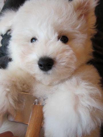 ビションフリーゼフントヒュッテ東京ビションフリーゼこいぬ情報子犬情報ビション赤ちゃんhundehutteビションフリーゼ子犬のブラッシングこいぬのお手入れ6.jpg