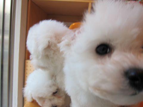 ビションフリーゼフントヒュッテ東京ビションフリーゼこいぬ情報子犬情報ビション赤ちゃんhundehutteビションフリーゼおとこのこビションフリーゼおんなのこ1.jpg