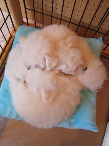 ビションフリーゼフントヒュッテ東京ビションフリーゼこいぬ情報子犬情報ビション赤ちゃんhundehutteビションフリーゼおとこのこビションフリーゼおんなのこ5.jpg
