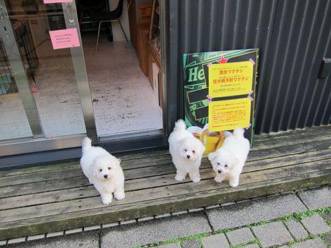 ビションフリーゼフントヒュッテ東京ビションフリーゼこいぬ情報子犬情報ビション赤ちゃんhundehutteビションフリーゼおとこのこビションフリーゼおんなのこ9.jpg