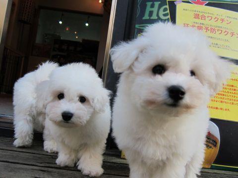 ビションフリーゼフントヒュッテ東京ビションフリーゼこいぬ情報子犬情報ビション赤ちゃんhundehutteビションフリーゼおとこのこビションフリーゼおんなのこ10.jpg