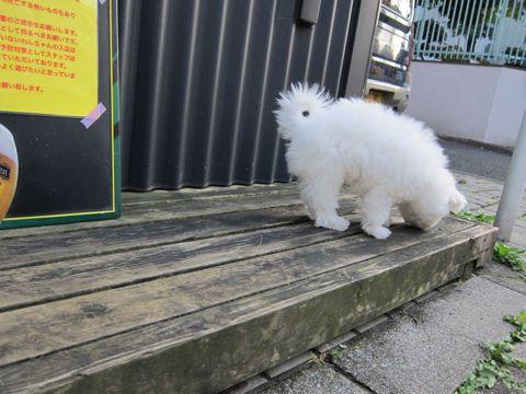 ビションフリーゼフントヒュッテ東京ビションフリーゼこいぬ情報子犬情報ビション赤ちゃんhundehutteビションフリーゼおとこのこビションフリーゼおんなのこ12.jpg