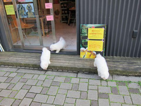 ビションフリーゼフントヒュッテ東京ビションフリーゼこいぬ情報子犬情報ビション赤ちゃんhundehutteビションフリーゼおとこのこビションフリーゼおんなのこ15.jpg