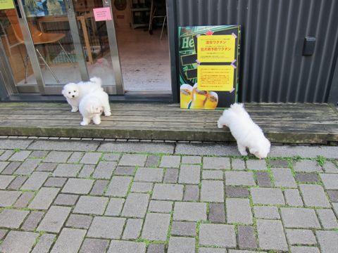 ビションフリーゼフントヒュッテ東京ビションフリーゼこいぬ情報子犬情報ビション赤ちゃんhundehutteビションフリーゼおとこのこビションフリーゼおんなのこ16.jpg