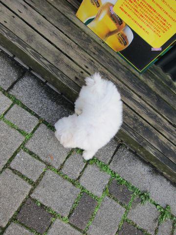 ビションフリーゼフントヒュッテ東京ビションフリーゼこいぬ情報子犬情報ビション赤ちゃんhundehutteビションフリーゼおとこのこビションフリーゼおんなのこ17.jpg
