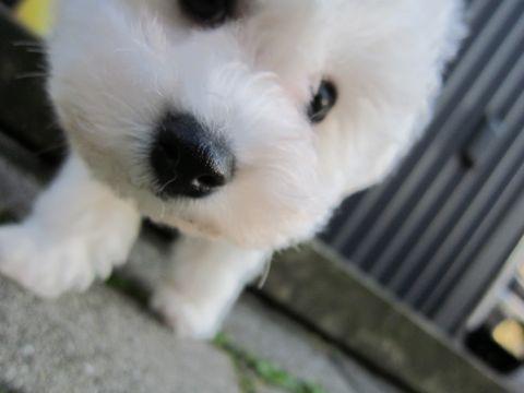 ビションフリーゼフントヒュッテ東京ビションフリーゼこいぬ情報子犬情報ビション赤ちゃんhundehutteビションフリーゼおとこのこビションフリーゼおんなのこ18.jpg