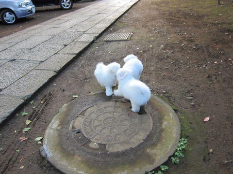 ビションフリーゼフントヒュッテ東京ビションフリーゼこいぬ情報子犬情報ビション赤ちゃんhundehutteビションフリーゼこいぬ子犬はじめてのおさんぽ初めてのお散歩1.jpg