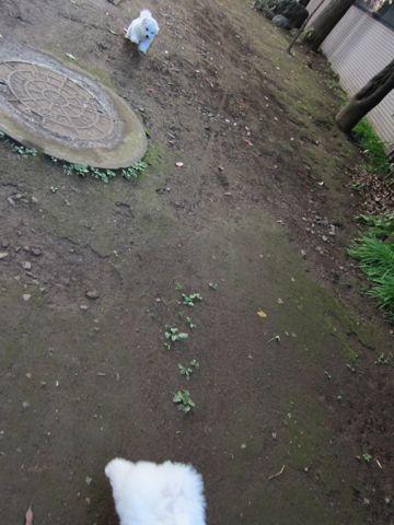 ビションフリーゼフントヒュッテ東京ビションフリーゼこいぬ情報子犬情報ビション赤ちゃんhundehutteビションフリーゼこいぬ子犬はじめてのおさんぽ初めてのお散歩2.jpg