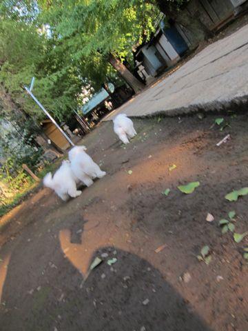 ビションフリーゼフントヒュッテ東京ビションフリーゼこいぬ情報子犬情報ビション赤ちゃんhundehutteビションフリーゼこいぬ子犬はじめてのおさんぽ初めてのお散歩3.jpg