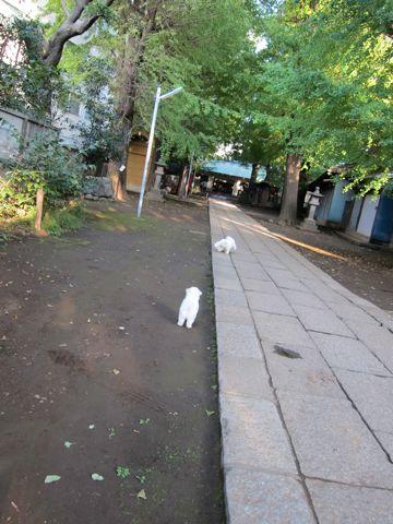 ビションフリーゼフントヒュッテ東京ビションフリーゼこいぬ情報子犬情報ビション赤ちゃんhundehutteビションフリーゼこいぬ子犬はじめてのおさんぽ初めてのお散歩5.jpg