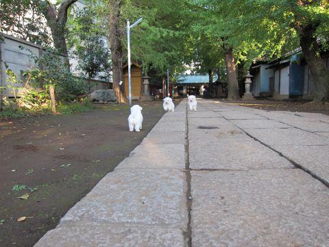 ビションフリーゼフントヒュッテ東京ビションフリーゼこいぬ情報子犬情報ビション赤ちゃんhundehutteビションフリーゼこいぬ子犬はじめてのおさんぽ初めてのお散歩6.jpg