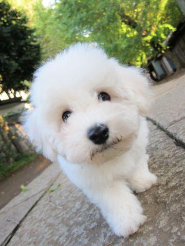 ビションフリーゼフントヒュッテ東京ビションフリーゼこいぬ情報子犬情報ビション赤ちゃんhundehutteビションフリーゼこいぬ子犬はじめてのおさんぽ初めてのお散歩8.jpg