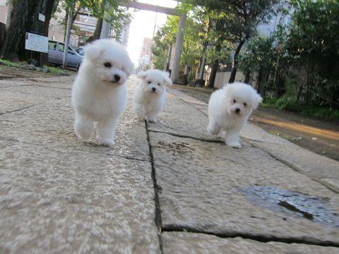 ビションフリーゼフントヒュッテ東京ビションフリーゼこいぬ情報子犬情報ビション赤ちゃんhundehutteビションフリーゼこいぬ子犬はじめてのおさんぽ初めてのお散歩9.jpg