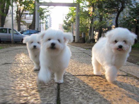 ビションフリーゼフントヒュッテ東京ビションフリーゼこいぬ情報子犬情報ビション赤ちゃんhundehutteビションフリーゼこいぬ子犬はじめてのおさんぽ初めてのお散歩a.jpg