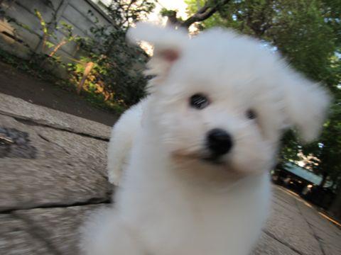 ビションフリーゼフントヒュッテ東京ビションフリーゼこいぬ情報子犬情報ビション赤ちゃんhundehutteビションフリーゼこいぬ子犬はじめてのおさんぽ初めてのお散歩b.jpg
