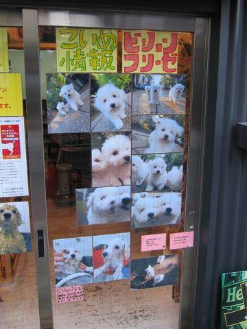 ビションフリーゼフントヒュッテ東京ビションフリーゼこいぬ情報子犬情報ビション赤ちゃんhundehutteビションフリーゼおとこのこビションフリーゼおんなのこ21.jpg