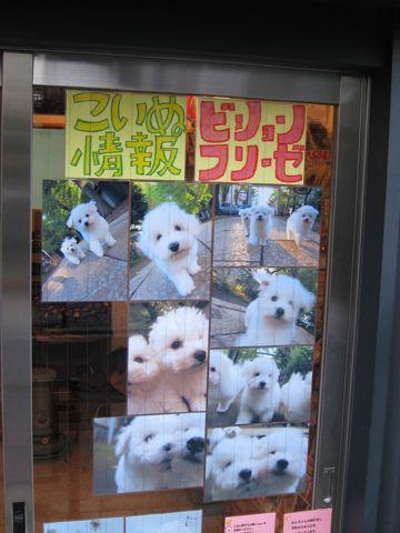 ビションフリーゼフントヒュッテ東京ビションフリーゼこいぬ情報子犬情報ビション赤ちゃんhundehutteビションフリーゼおとこのこビションフリーゼおんなのこ22.jpg