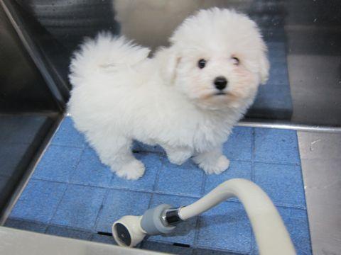 ビションフリーゼフントヒュッテ東京ビションフリーゼこいぬ情報子犬情報ビション赤ちゃんhundehutteビションフリーゼ子犬のブラッシングこいぬのシャンプー1.jpg