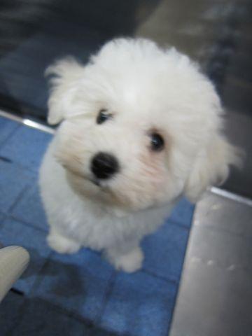 ビションフリーゼフントヒュッテ東京ビションフリーゼこいぬ情報子犬情報ビション赤ちゃんhundehutteビションフリーゼ子犬のブラッシングこいぬのシャンプー2.jpg